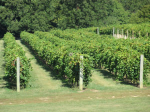 Alto Vineyards Vines